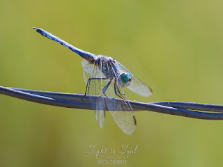 Male Blue Dasher Dragonfly (Pachydiplax longipennis)