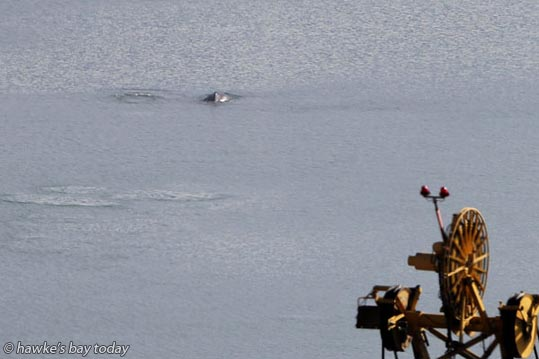 A Napier Port worker reported two humpback whales near the Napier Port, Napier. photograph