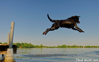 dog jumping off dock into lake water, max, lab, labrador, dog, chase