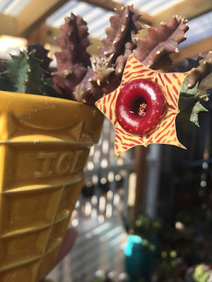 Huernia, Huernia zebrina, Lifesaver plant, succulent, succulents, garden, nature, flowers, gardening, garden tour