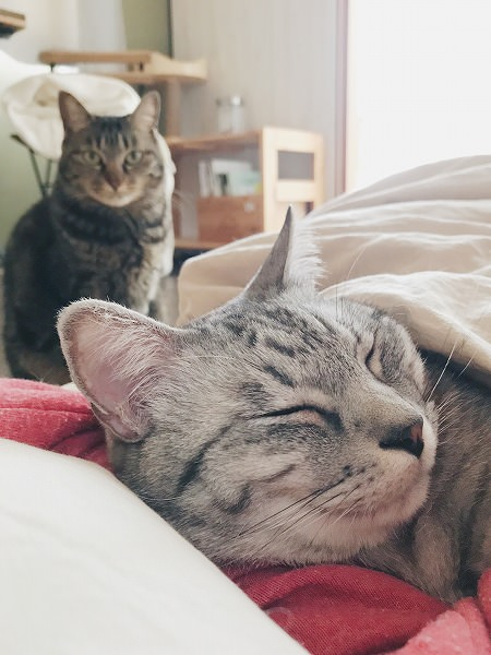 ふとんに入って飼い主といっしょに寝ているサバトラ猫と、ふとんの横に座ってこっちを見ているキジトラ猫
