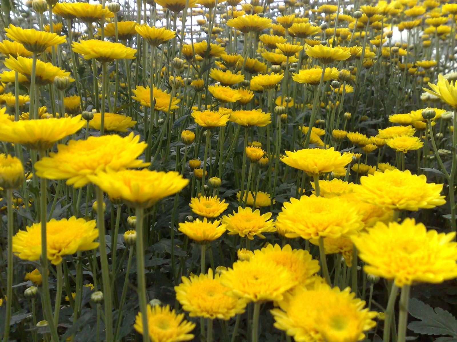 Bunga Potong Lembang Bunga Aster Lembang