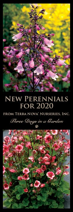 New Perennials for 2020 from Terra Nova Nurseries, Inc.