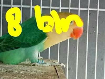 Lovebird Usia 8 bulan