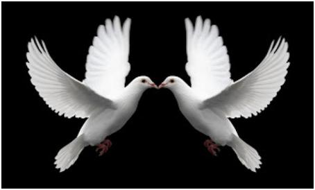 gambar sepasang burung merpati putih