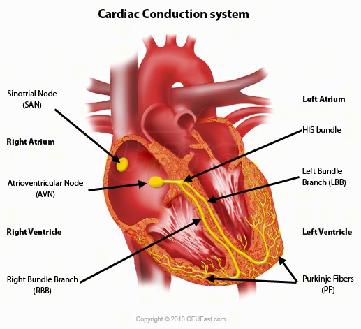 Cardiac conduction system electricalvoice of his these fibres divide into left and right bundle branches which transmits electrical impulses to the left and right ventricles respectively ccuart Images