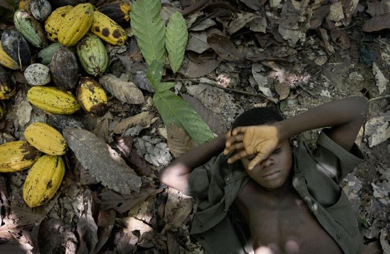 criança trabalha numa plantação de cacau