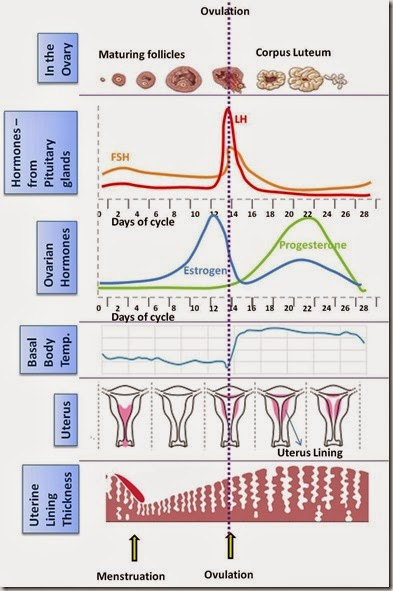female sex hormones cycles jpg 1500x1000