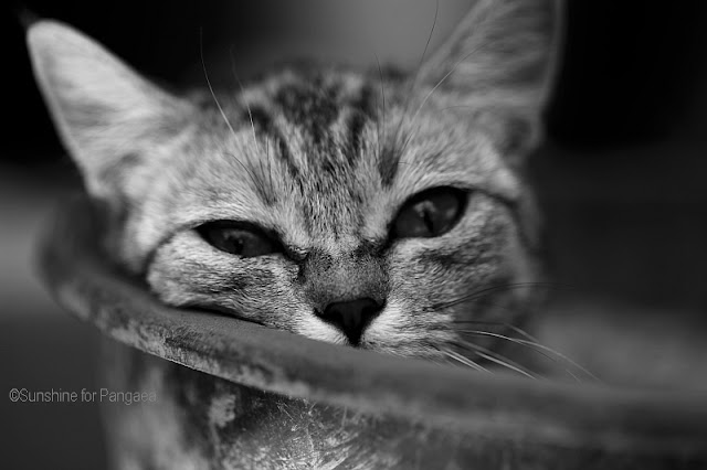 Cat in a Bucket, black and white photo