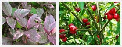 Mengobati Wasir Dengan Tanaman Herbal