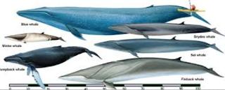 Samudra Hindia dan Samudra Pasifik Selatan Kabar Terbaru- PAUS BIRU