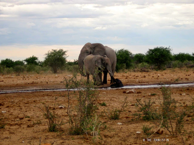 Travel Namibia. Etosha. Baby elephant, waterhole, accident. Elephants