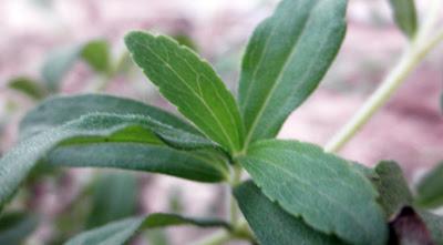 Multiplicar Stevia por esquejes