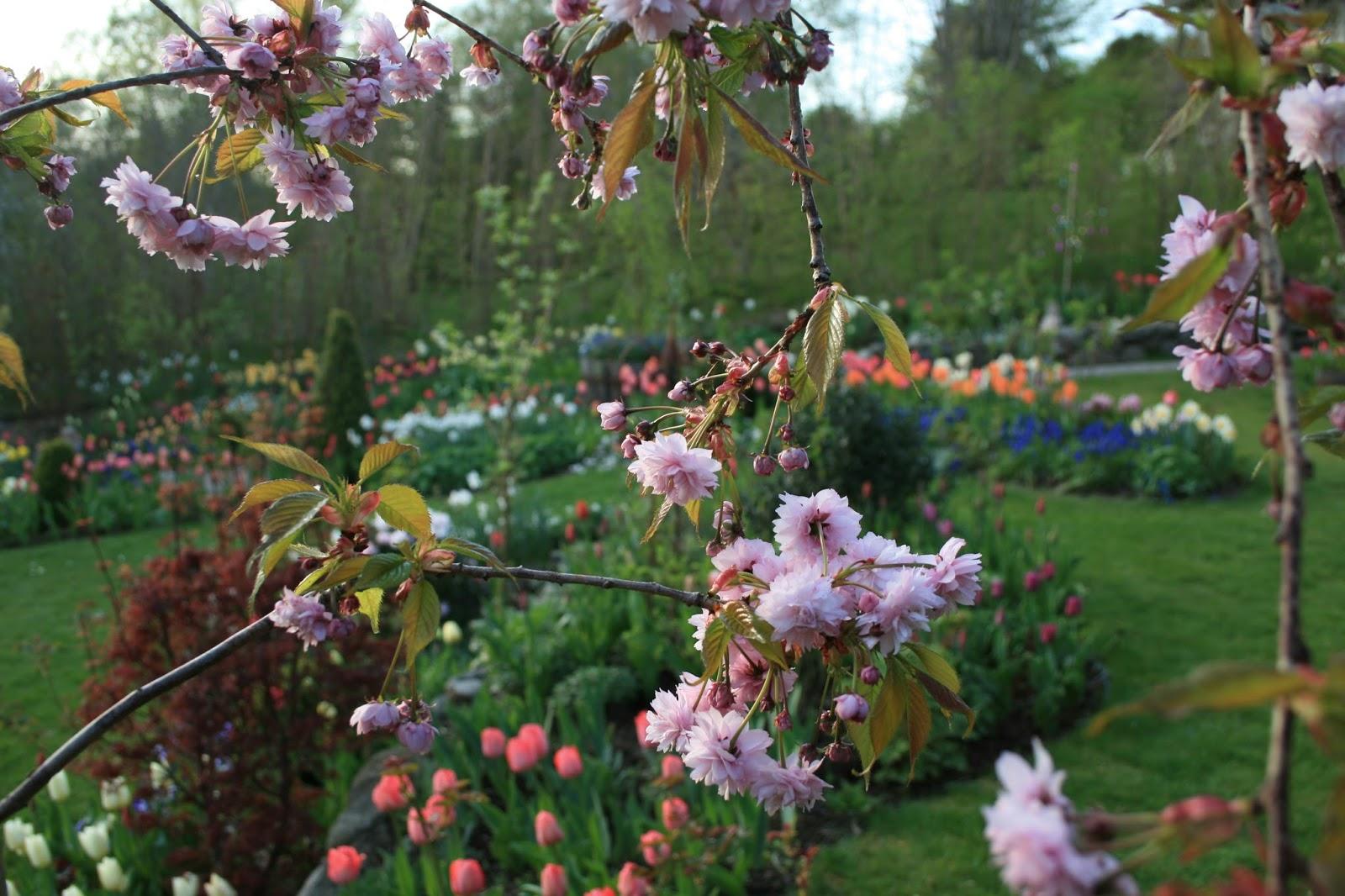 Japanskt hängkörsbär Prunus serrulata 'Kiku - shidare - zakura'