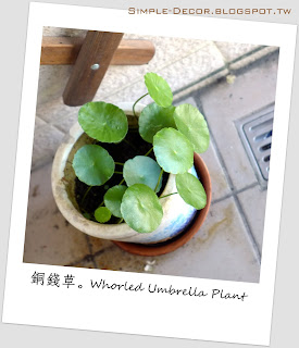 http://simple-decor.blogspot.tw/2017/09/greeny-garden-whorled-umbrella-plant.html