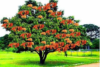 Gambar Bunga Asoka Berbagai Warna 3