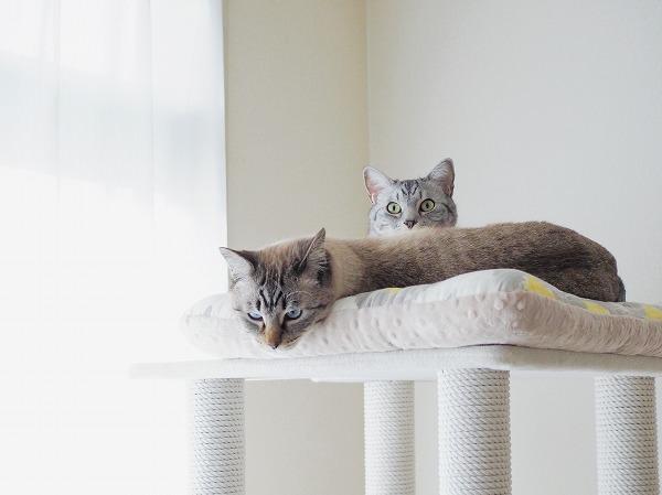 横になっているシャムトラ猫の体の後ろからひょっこり顔を出したサバトラ猫