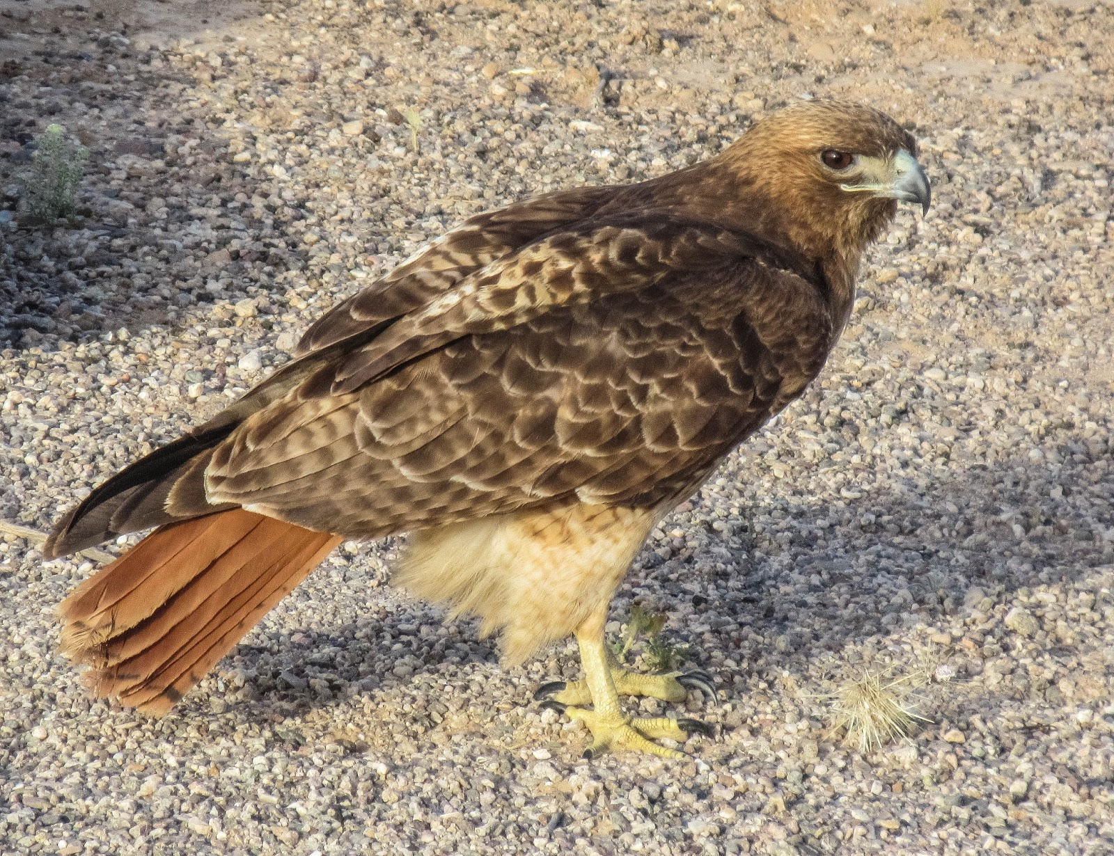 Cannundrums western red tailed hawk sonora mexico - Red tailed hawk wallpaper ...