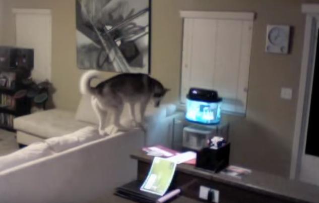 Naughty and Cute Huskies