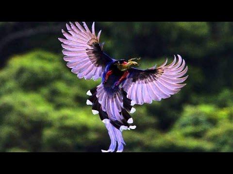 A característica mais marcante das aves-do-paraíso é a plumagem exuberante dos machos da maioria das espécies, utilizada como ornamento nos rituais de acasalamento.