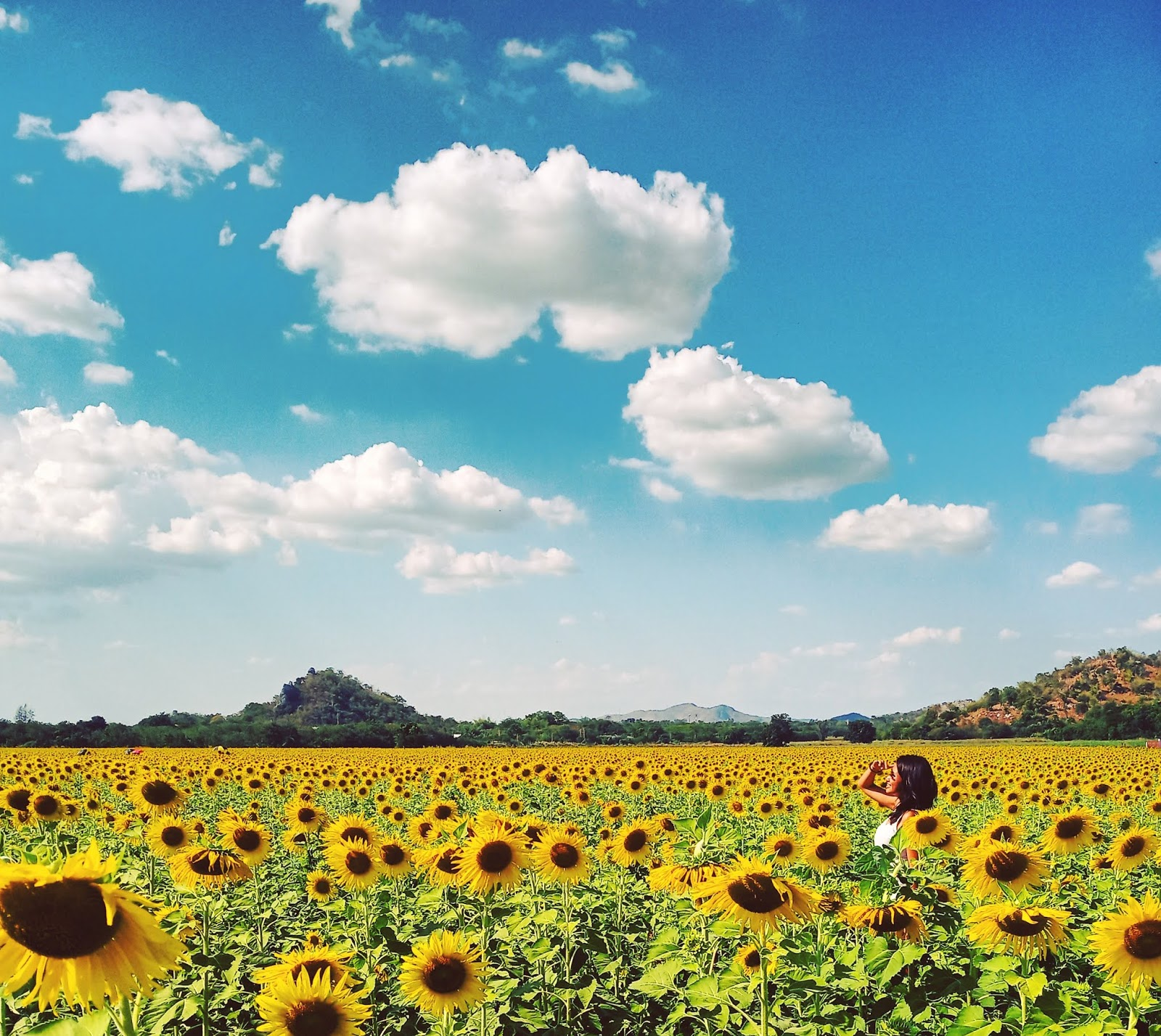 How to visit Lopburi sunflower fields, Thailand | Ummi Goes Where?