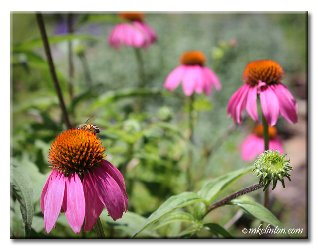 purple coneflowers with a bee