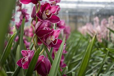 Como cuidar as Orquídeas