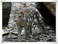 Quoll Animal Pictures