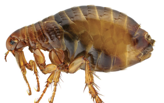 Outbreak of Flea-Borne Disease Hits Downtown L.A., County Health Official Warns