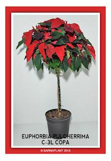 Poinsettia-Euphorbia-Pulcherrima-C3L-Copa-2018