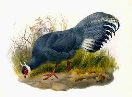 Blue Eared-pheasant