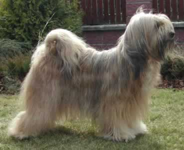 About Dog Tibetan Terrier How Well Is