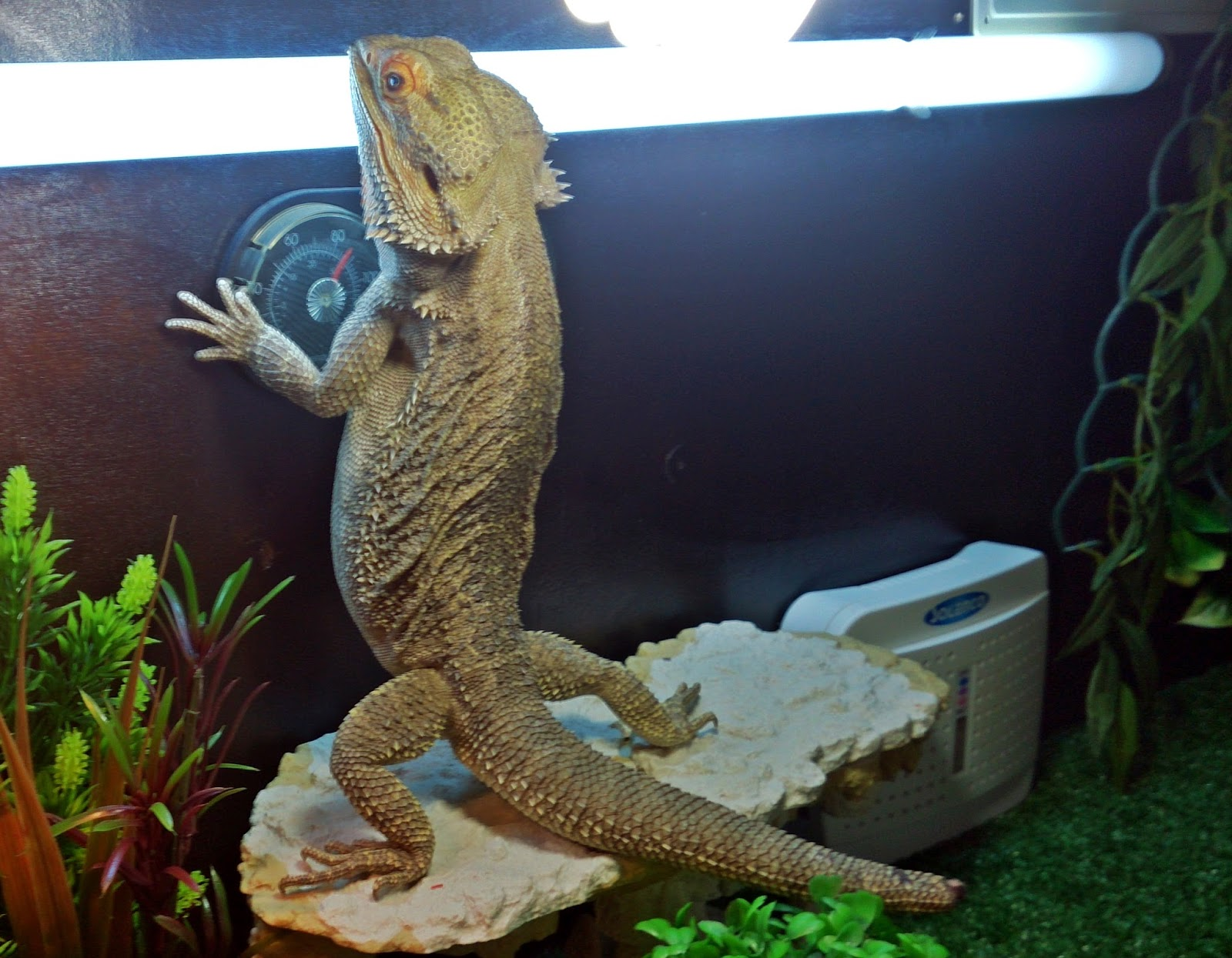 Bearded Dragon Care Bearded Dragon Lighting And Heating