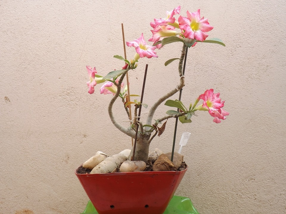 Tanaman Hias Bunga Adenium