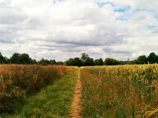 Photograph taken on a footpath through wheat fields on Walk 47: Mimram Valley Loop