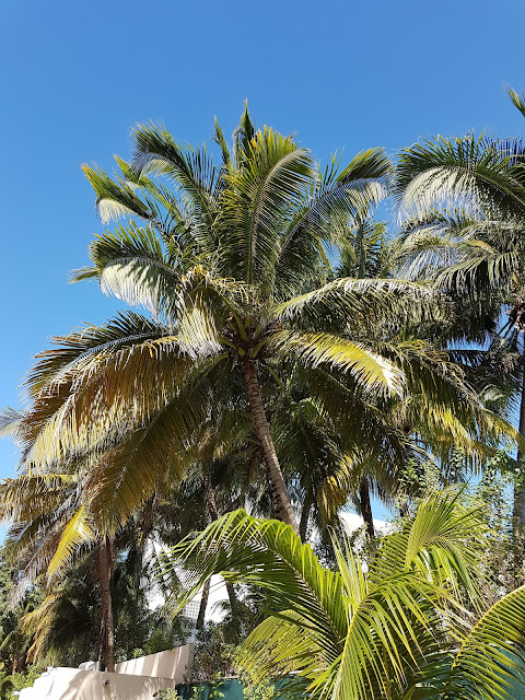 coconut palms in mexico