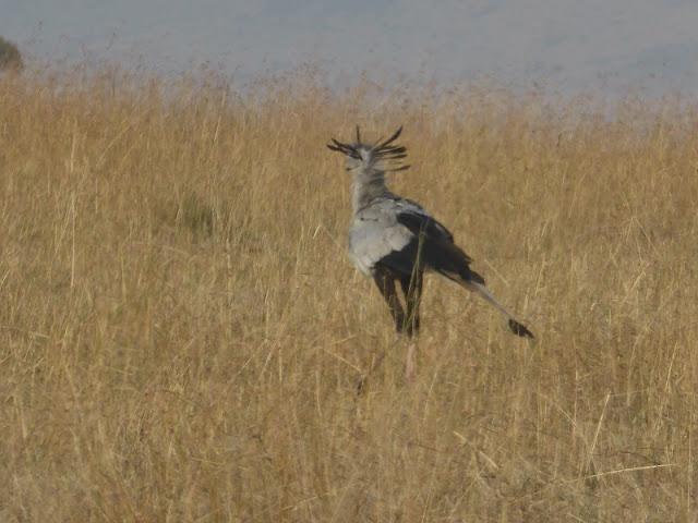 Pájaro secretario en Masai Mara