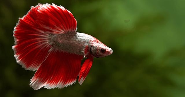 Budidaya Ikan Cupang - Budidaya Ikan