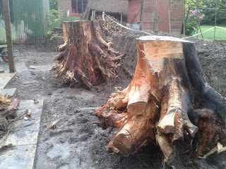 Felling Leylandii trees