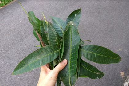 Manfaat daun mangga Untuk Kesehatan Tubuh