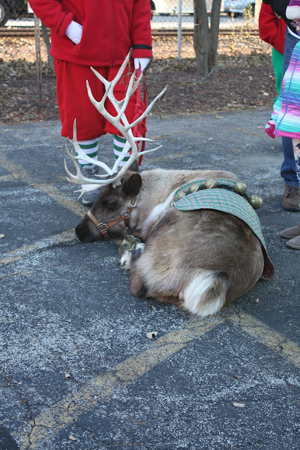 Sleeping reindeer
