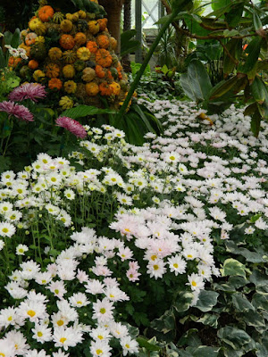 Massed white mums on display at 2016 Allan Gardens Conservatory  Fall Chrysanthemum Show by garden muses-not another Toronto gardening blog