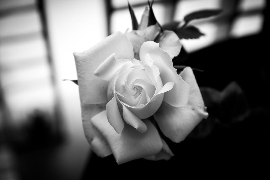 'Por el amor de una rosa...' de Carlos Larios
