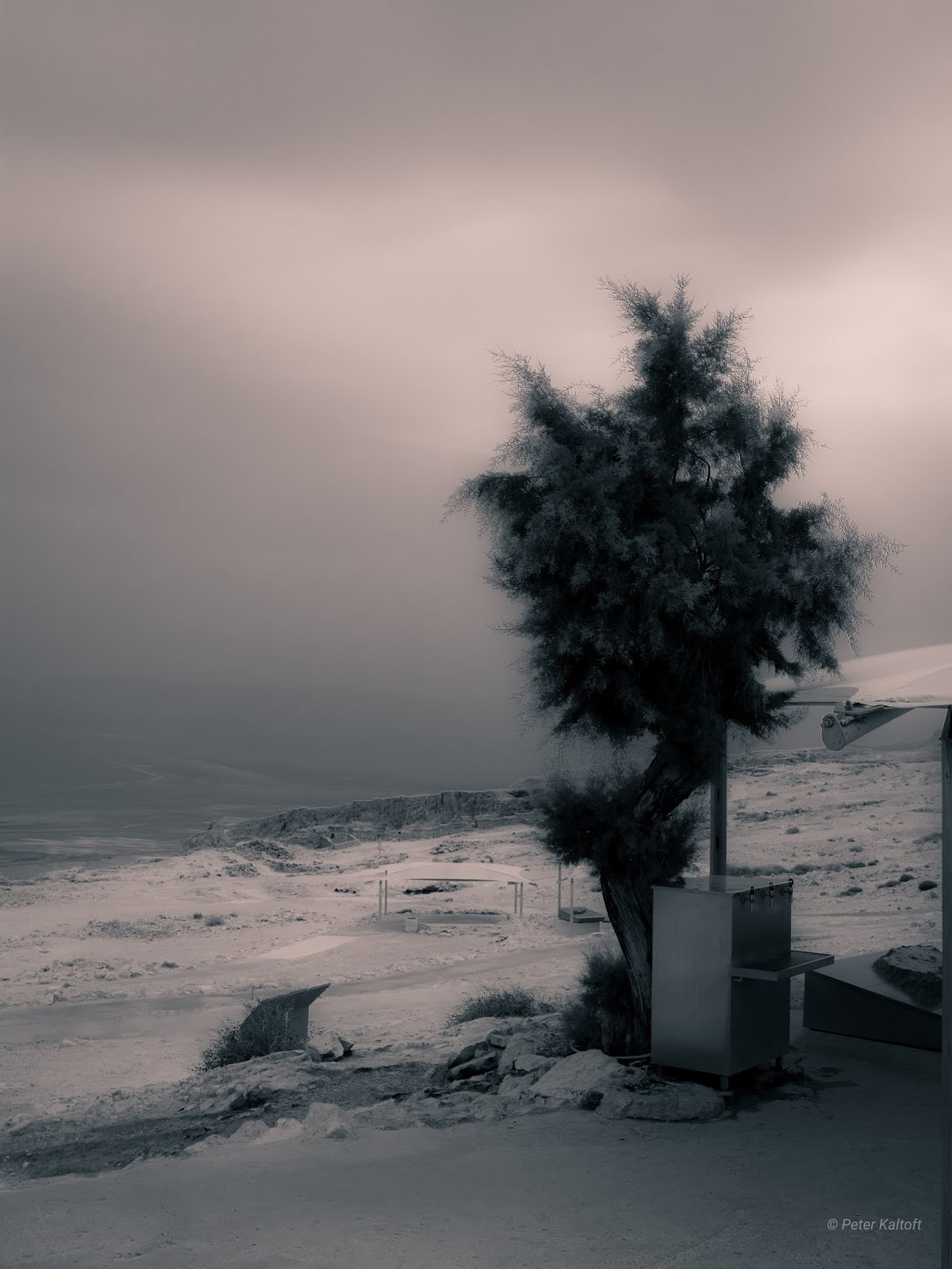 A tree standing on Masada in the Judean desert next to the Dead Sea