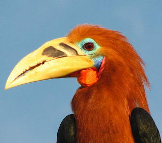 Rufous-necked hornbill - Aceros nipalensis