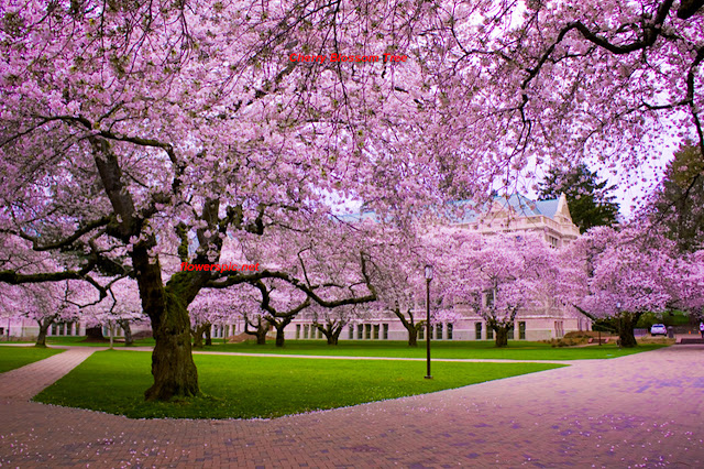 Cherry blossom online hookup and romance