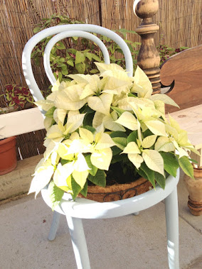 Nana loves Poinsettia's and her Thonet Chair Planter!