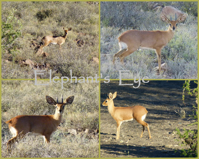 Steenbok with 'leaf' ears Top right is the female