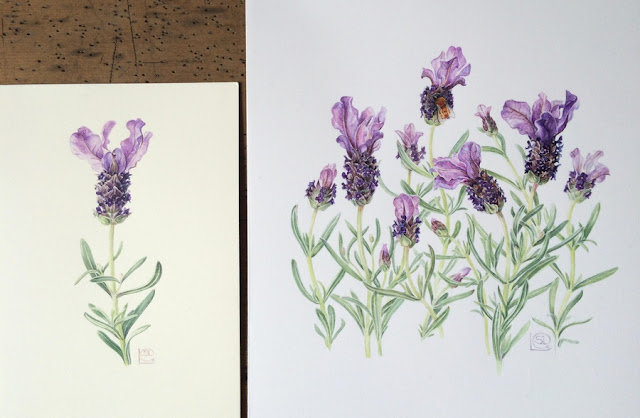 Lavandula stoechas, Spanish lavender watercolour paintings by Shevaun Doherty on different watercolour paper (Fabriano Artistico and Botanical Ultra Smooth)