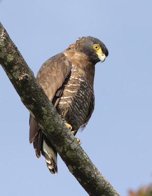 Sulawesi Serpent eagle